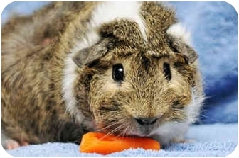 Guinea Pig for adoption in Durham, North Carolina - Brady