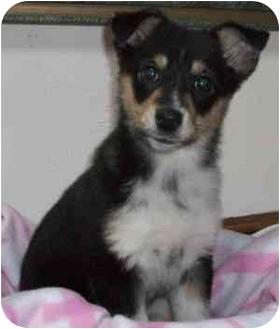 Shepherd (Unknown Type)/Collie Mix Puppy for adoption in Thomasville, North Carolina - Star