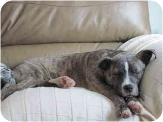 Boxer/Shepherd (Unknown Type) Mix Dog for adoption in Northville, Michigan - Trixie - video!