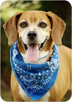 Labrador Retriever/Hound (Unknown Type) Mix Dog for adoption in Portsmouth, Rhode Island - Manny
