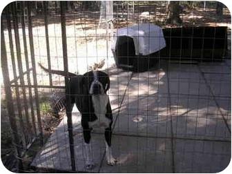 English Springer Spaniel/Labrador Retriever Mix Puppy for adoption in HOBOKEN, Georgia - Ricky