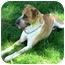 Photo 2 - St. Bernard/Hound (Unknown Type) Mix Dog for adoption in West Richland, Washington - Ranger