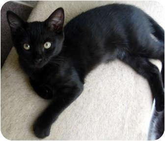 Domestic Shorthair Kitten for adoption in Smithfield, North Carolina - China