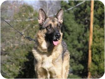German Shepherd Dog Dog for adoption in Rochester/Buffalo, New York - Uko