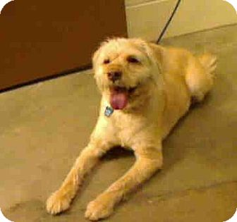 Goldendoodle Mix Dog for adoption in Antioch, Illinois - Champ ADOPTED!!