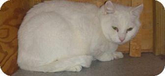 Domestic Shorthair Cat for adoption in Hamburg, New York - Snow White