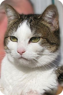 Domestic Shorthair Cat for adoption in Cardwell, Montana - Clea