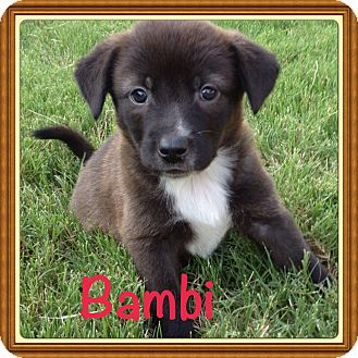 Australian Shepherd Mix Puppy for adoption in Brattleboro, Vermont - Bambi