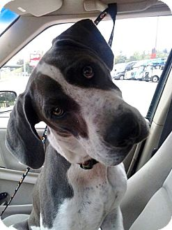 Great Dane Mix Dog for adoption in Baden, Pennsylvania - Dane