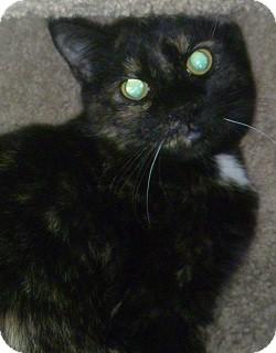 Domestic Shorthair Cat for adoption in Hamburg, New York - Shelby