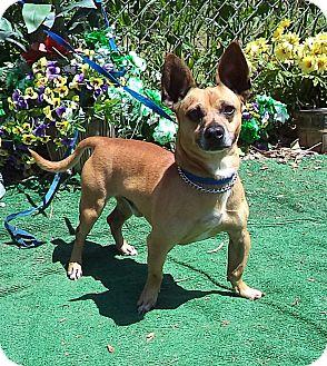 Chihuahua Mix Dog for adoption in Marietta, Georgia - TINY (R)