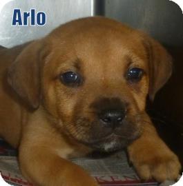 Labrador Retriever/Shepherd (Unknown Type) Mix Puppy for adoption in Georgetown, South Carolina - Arlo