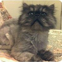 Adopt A Pet :: Bob aka The Bobster - Beverly Hills, CA