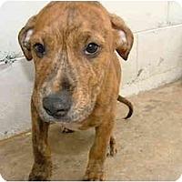 Adopt A Pet :: Brownie - Winter Haven, FL