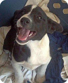 Border Collie/Australian Cattle Dog Mix Puppy for adoption in New Smyrna beach, Florida - border collie heeler pups 1 boy 2 girls