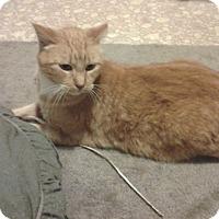 Adopt A Pet :: Orange Kitty - Chesterfield, VA