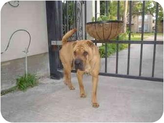 Shar Pei Dog for adoption in Houston, Texas - Samara