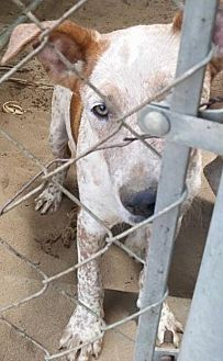 Australian Cattle Dog Mix Dog for adoption in Fresno, California - Mr. Tom Sellick