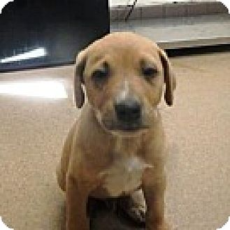 Pit Bull Terrier Mix Puppy for adoption in Las Vegas, Nevada - Cooper