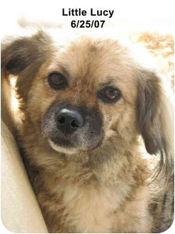 Pekingese/Cocker Spaniel Mix Dog for adoption in Poway, California - Little Lucy