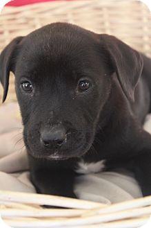 Labrador Retriever Mix Puppy for adoption in Waldorf, Maryland - Aqua