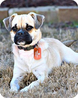 Pug Mix Dog for adoption in McKinney, Texas - Daisy