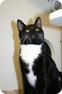 Domestic Shorthair Cat for adoption in Olympia, Washington - 39734