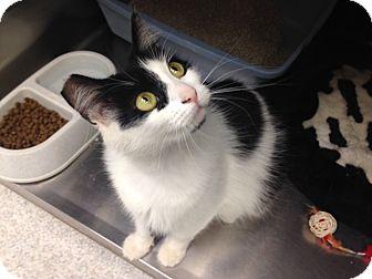 Domestic Mediumhair Cat for adoption in Newport Beach, California - Marie