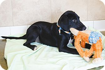 Irish Setter/Labrador Retriever Mix Puppy for adoption in Poteau, Oklahoma - JANEY