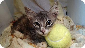Domestic Mediumhair Kitten for adoption in Wakinsville, Georgia - Sweet Tea