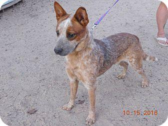 Australian Cattle Dog Dog for adoption in Phoenix, Arizona - Squirrel