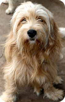 Tibetan Terrier Mix Dog for adoption in Bedminster, New Jersey - Buick - adoption pending