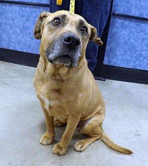 Labrador Retriever/Shepherd (Unknown Type) Mix Dog for adoption in Detroit, Michigan - Mattie