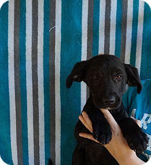Labrador Retriever/Golden Retriever Mix Puppy for adoption in Oviedo, Florida - Ajax
