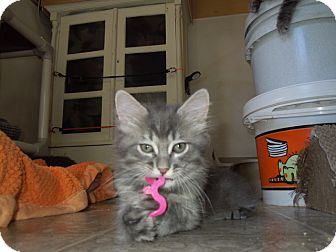 Maine Coon Kitten for adoption in Mission Viejo, California - Humphrey