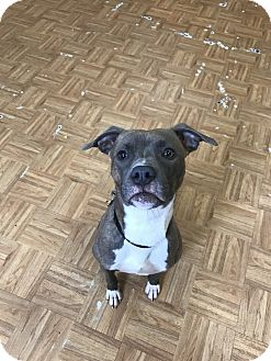American Staffordshire Terrier Mix Dog for adoption in Oak Park, Illinois - Kaia