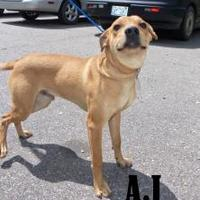 Hound (Unknown Type) Mix Dog for adoption in Franklin, North Carolina - A.J