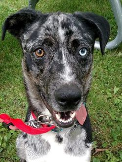 Catahoula Leopard Dog/Husky Mix Dog for adoption in West Allis, Wisconsin - Blue