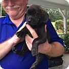Adopt A Pet :: Lola the Beagle Pup 3