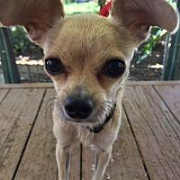 Adopt A Pet :: Nacha - Santa Ana, CA