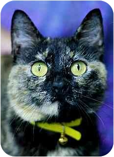 Domestic Shorthair Cat for adoption in Brenham, Texas - Patches