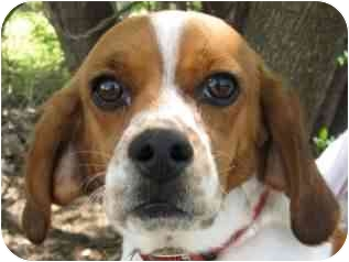 Beagle Mix Dog for adoption in Muskogee, Oklahoma - Rex