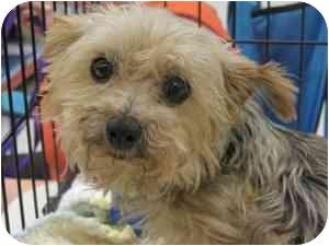 Yorkie, Yorkshire Terrier Dog for adoption in Rochester Hills, Michigan - Kiki