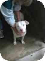 American Pit Bull Terrier Mix Dog for adoption in Harrodsburg, Kentucky - Ruthie