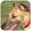 Photo 3 - Greyhound Dog for adoption in Tampa, Florida - Queen