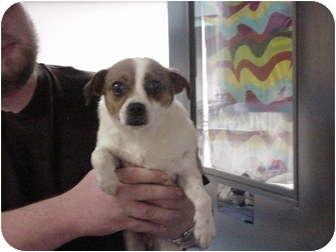 Chihuahua/Jack Russell Terrier Mix Dog for adoption in Manassas, Virginia - Betty
