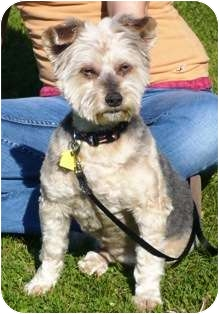 Yorkie, Yorkshire Terrier/Pomeranian Mix Dog for adoption in Osseo, Minnesota - Harley