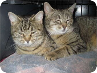 Domestic Shorthair Cat for adoption in Worcester, Massachusetts - Lady