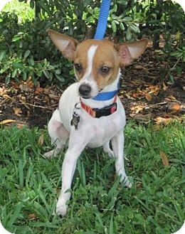 Chihuahua/Dachshund Mix Dog for adoption in Houston, Texas - Olive