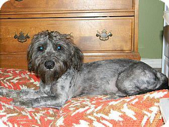Schnauzer (Miniature)/Terrier (Unknown Type, Medium) Mix Dog for adoption in Las Vegas, Nevada - Sunny